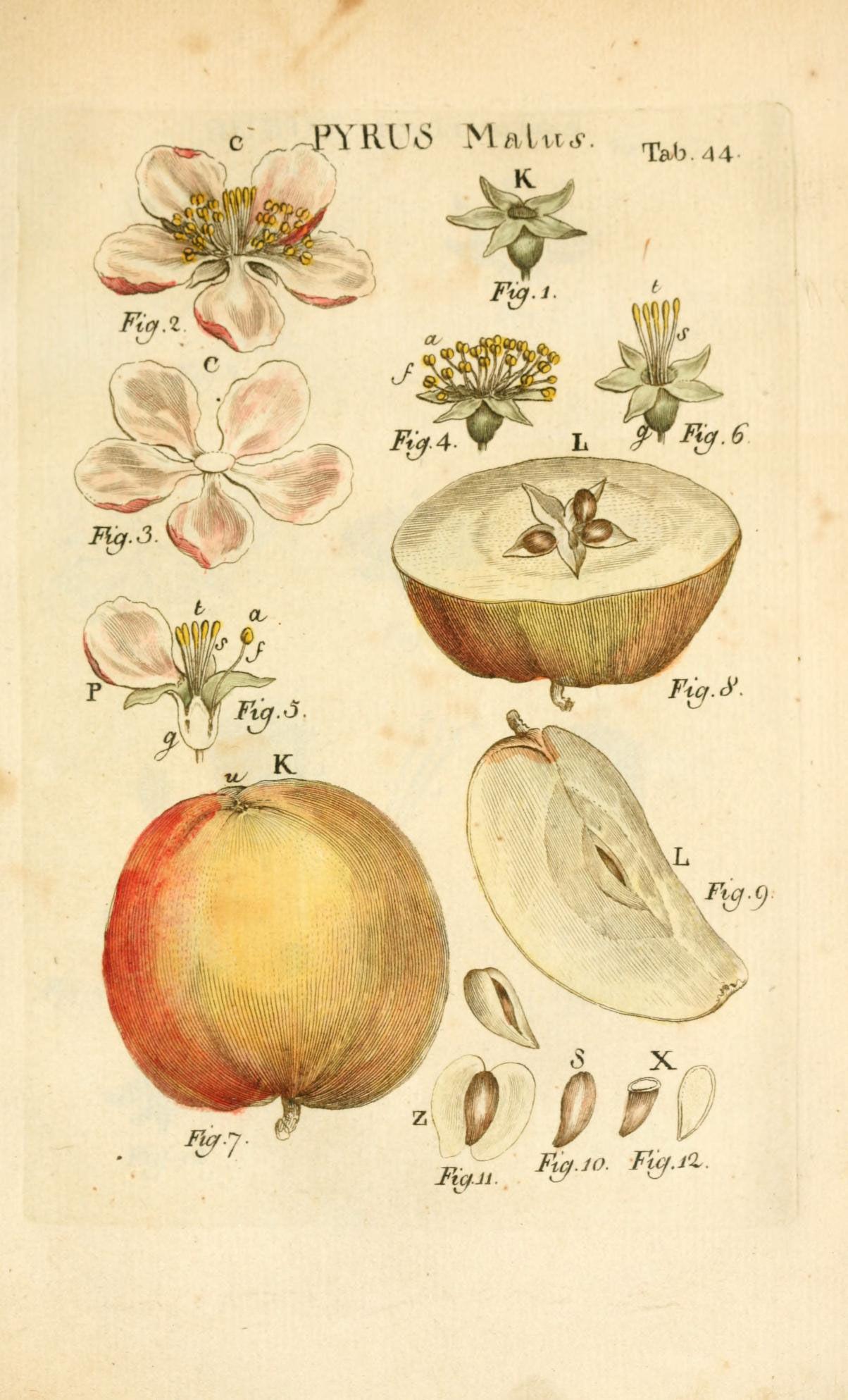 Illustration-of-Apple