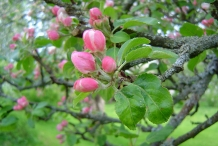 Apple-flower-bud