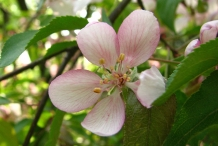 Close-up-flower-of-Apple