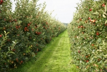 Apple-farm