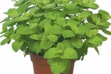 Apple-Mint-plant-grown-on-the-pot