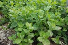 Apple-Mint-plant