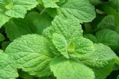 Leaves-of-Apple-Mint