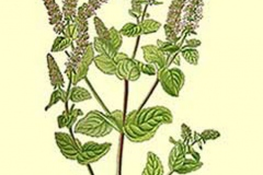 Plant-illustration-of-Apple-Mint