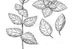 Sketch-of-Apple-Mint