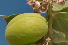 Flower-&-Fruit-of-Apple-of-Sodom