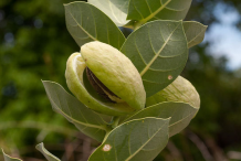 Fruit-displaying-seed-in-Apple-of-Sodom-plant