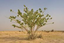 Apple-of-Sodom--Plant-growing-wild
