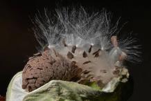 Dehisced-seedpod-releasing-seeds