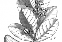 Plant-Sketch-of-Apple-of-Sodom
