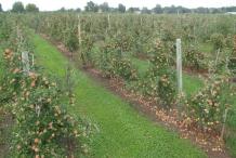 Apricot-farm
