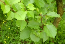 Apricot-leaves