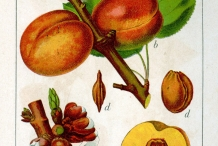 Illustration-of-Apricot
