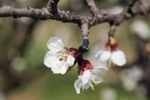 Apricot-flower