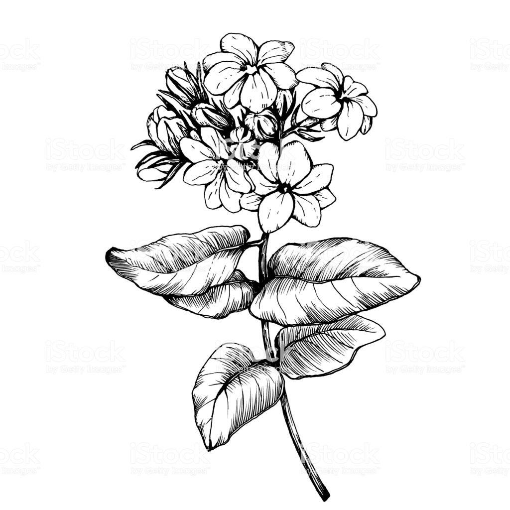 Sketch-of-Arabian-Jasmine
