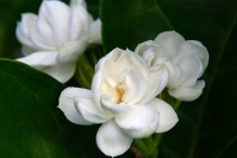 Arabian-Jasmine-flower