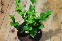 Arabian-Jasmine-plant