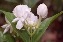 Flowering-buds-of-Arabian-Jasmine