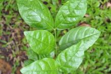 Leaves-of-Arabian-Jasmine