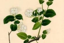 Plant-Illustration-of-Arabian-Jasmine