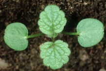 Seedlings-of-Archangel