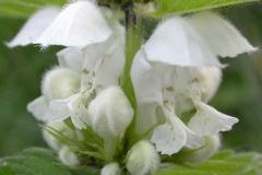 Close-view-of-Archangel-flower