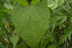 Leaf-of-Archangel