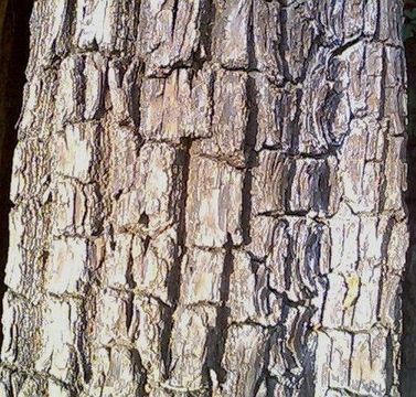 Bark-of-Arjun-Tree