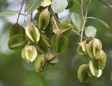 Green-Fruit-of-Arjun-Tree