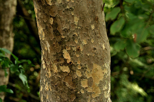 Trunk-of-Arjun-Tree