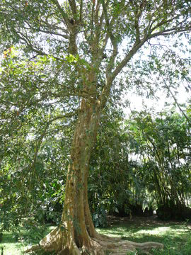 Whole-Arjun-Tree