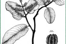 Arjun-Tree-Illustration
