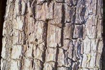 Bark-of-Arjun-Tree