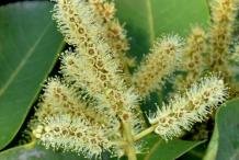 Flowers-of-Arjun-Tree