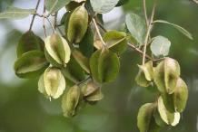 Green-Fruit-of-Arjun-Tree