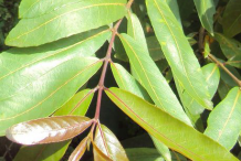 Leaves-of-Arjun-Tree