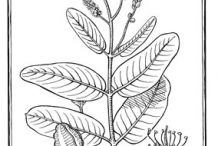 Sketch-of-Arjun-tree