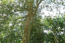 Whole-Arjun-Tree