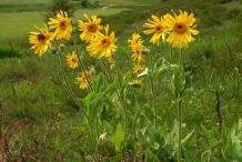 Arnica-Plant