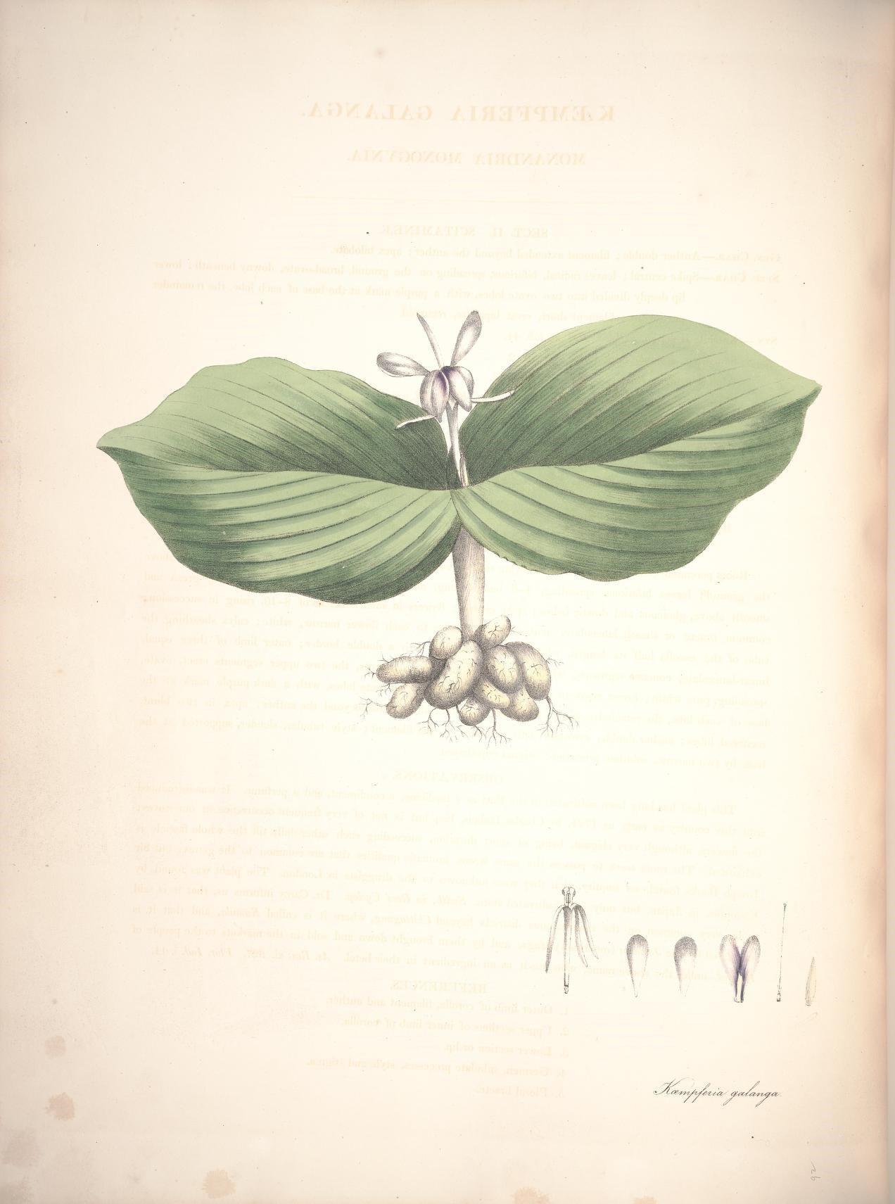 Plant-illustration-of-Aromatic-ginger