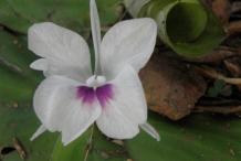 Aromatic-ginger-flower