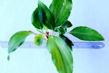 Aromatic-ginger-leaves