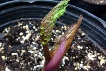 Arracacha-seedlings