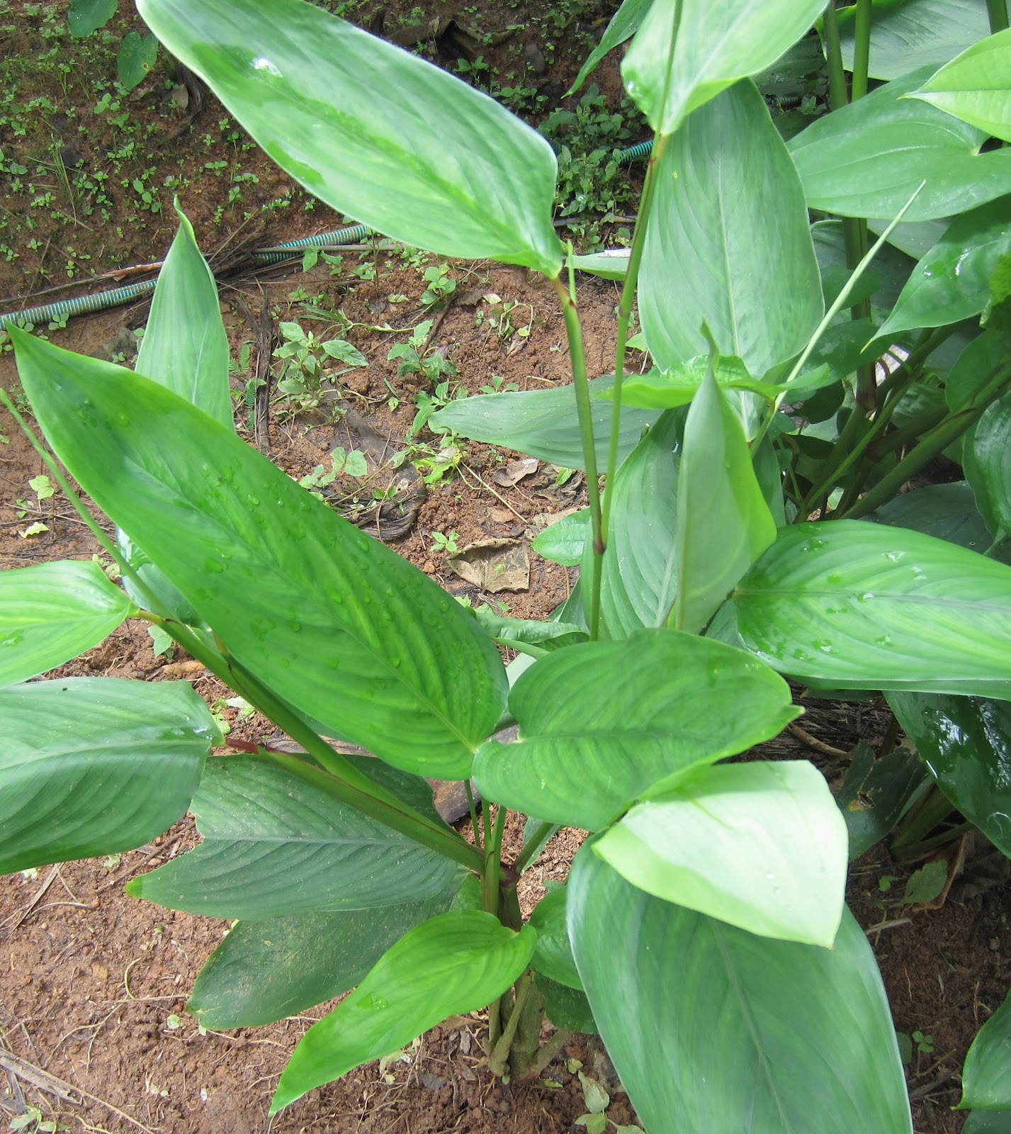 Leaves-of-Arrowroot-plant