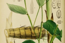 Illustration-of-Arrowroot
