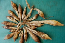 Tubers-of-Arrowroot