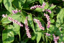 Flowers-of-Arsesmart-plant