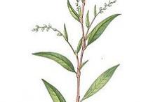 Plant-Illustration-of-Arsesmart