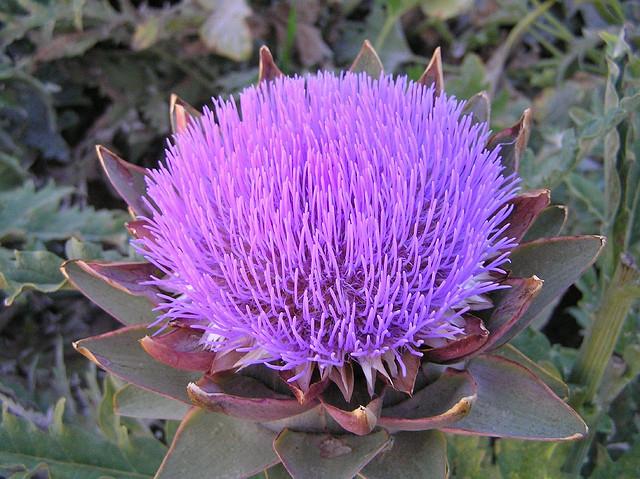 Close-up-flower-of-Artichoke