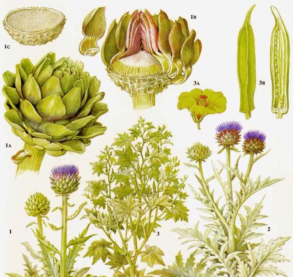 Plant-illustration-of-Artichoke